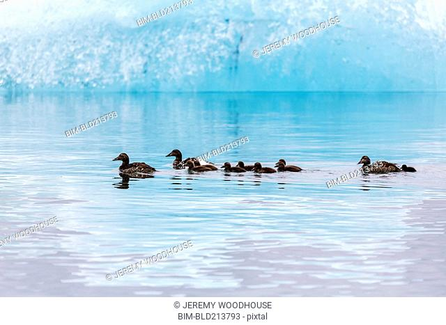 Ducks swimming in Jokulsarlon Glacier Lagoon, Iceland