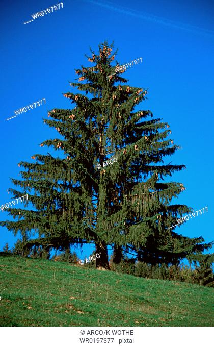 Norway, Spruce,Picea, abies