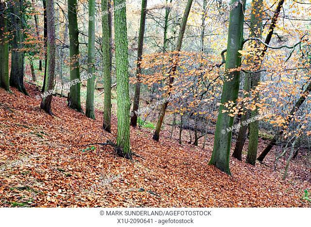 Woodland in Autumn near Knaresborough North Yorkshire England