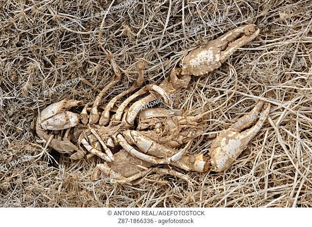 Crabs killed by drought, Almansa Swamp, Albacete