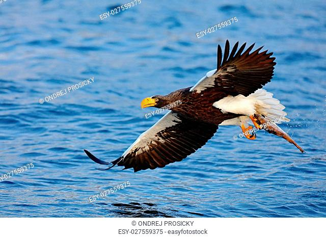 Eagle flying with fish. Beautiful Steller's sea eagle