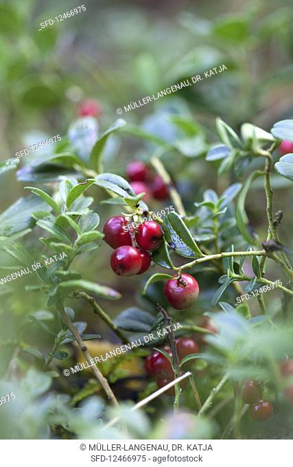 Foxberries on the bush