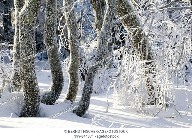 Color , Daytime , Europe , exterior , France , Hoar Frost , Mountain forest , nature , outdoor , outdoors , outside , Snow , Tree , Winter