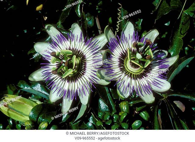 Passion flowers (Passiflora sp.)