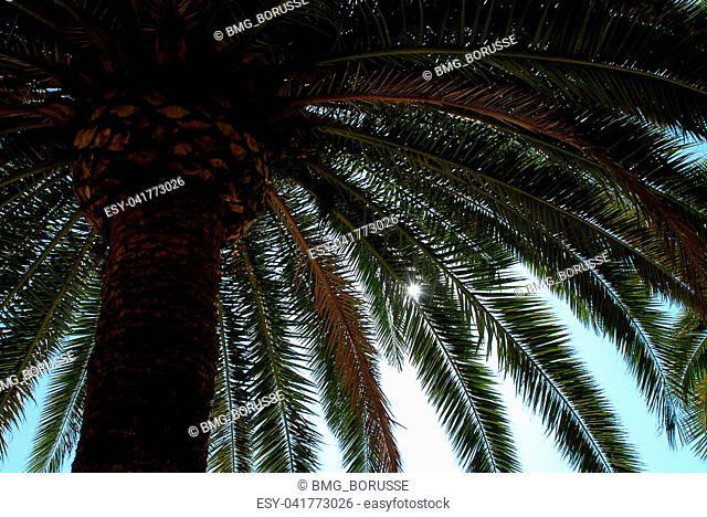 Palm tree in Ajaccio, Corsica, France