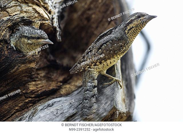 Wryneck (Jynx torquilla), adult and juvenile in the nesting hole, Germany