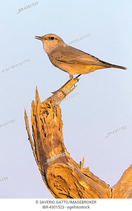 Red-tailed Wheatear (Oenanthe Oenanthe chrysopygia), perched on a dead tree, Khatmat Milahah, Al Batinah, Oman