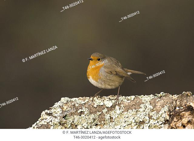 The European Robin (Erithacus rubecula) is a species of passerine bird of the family Muscicapidae. Sierra de Guadarrama, Madrid province, Spain