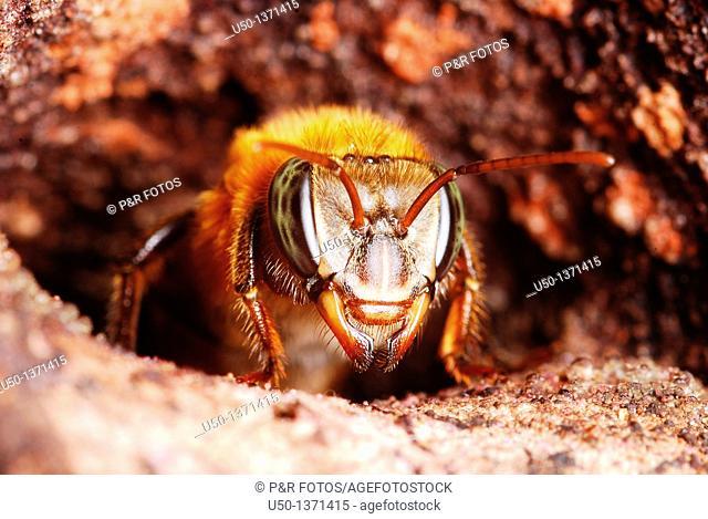 Worker of Melipona eburnea in nest entrance, Xapuri, Acre, Brazil, 2009  Bee 1cm lenght