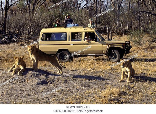 Watching a pride of young LIONS Panthera Leo form the safety of a LANDCRUISER - MOREMI GAME RESERVE, BOTSWANA