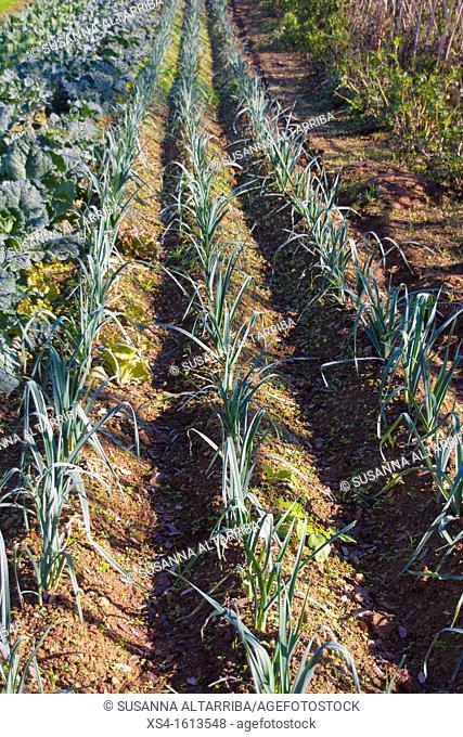 Leeks growing. Leek, Allium ampeloprasum var. porrum. Allium porrum. Family Amaryllidaceae, subfamily Allioideae. Winter Crops