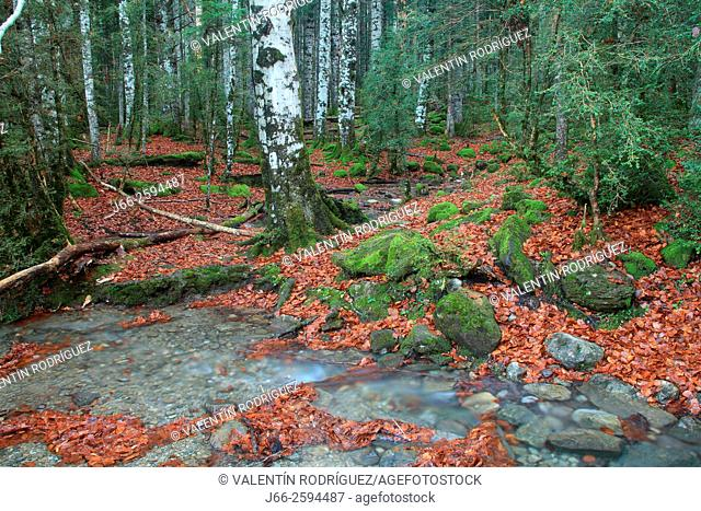 beech and fir forest in the valley of Ordesa. Ordesa National Park. Huesca