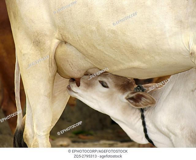 Cow suckling her calf