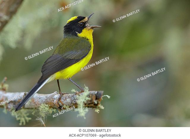 Yellow-crowned Whitestart (Myioborus flavivertex) perched on a branch in the mountains of Colombia, South America