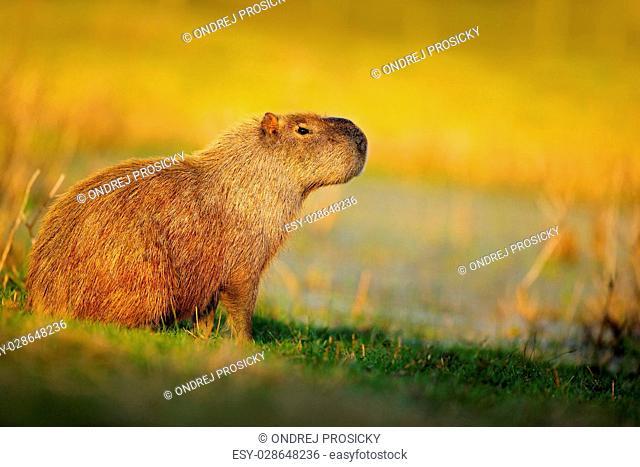 Biggest mouse, Capybara, Hydrochoerus hydrochaeris