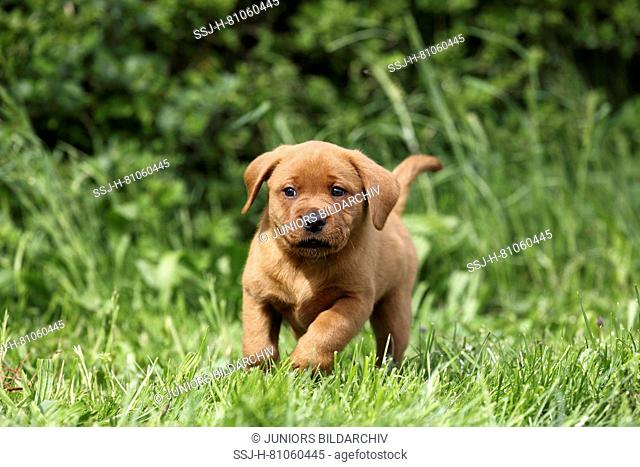 Labrador Retriever. Puppy (6 weeks old) running on a meadow. Germany