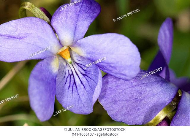 Close up photograph of the Common Dog-violet Viola riviniana
