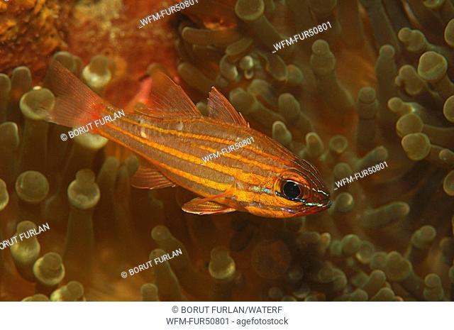 Yellow Cardinalfish, Apogon cyanosoma, Alor, Lesser Sunda Islands, Indo-Pacific, Indonesia