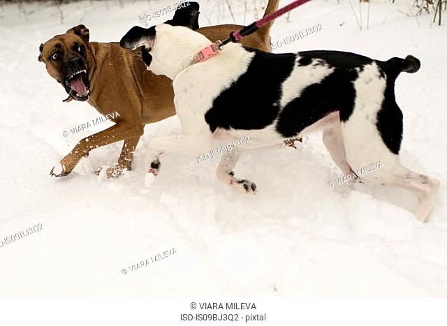 Dog snarling at dog on leash in snow