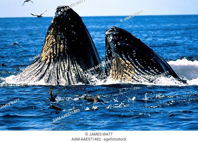 Humpback Whale (Megaptera novaeangliae), lunge feeding on Anchovies, Monterey, CA