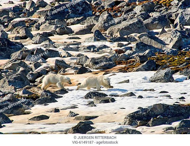 two polar bear cubs (Ursus maritimus), Svalbard or Spitsbergen, Europe - , Svalbard, 22/06/2018