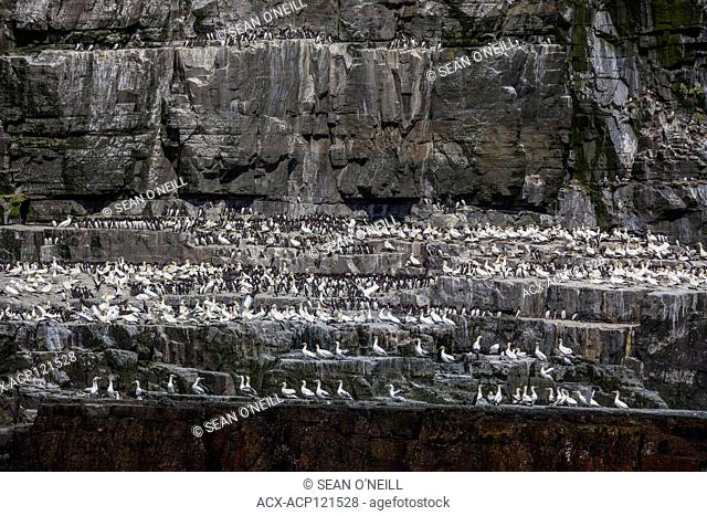 common murre (Uria aalge) and northern gannet (Morus bassanus) on shorline at CapeSt. Mary's ecological reserve, Newfoundland, Canada