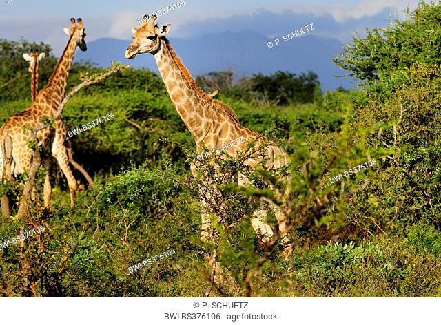 Cape giraffe (Giraffa camelopardalis giraffa), in bush savannah, South Africa, Krueger National Park, Kapama-Reservat
