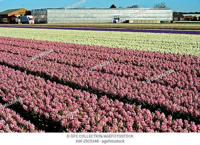 Cultivation of pink and white hyacinths in the Bollenstreek area near Noordwijkerhout, Netherlands