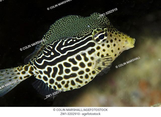 Solar Boxfish (Ostracion solorensis) with ornate pattern, Dili Rock East dive site, Dili, East Timor (Timor Leste)