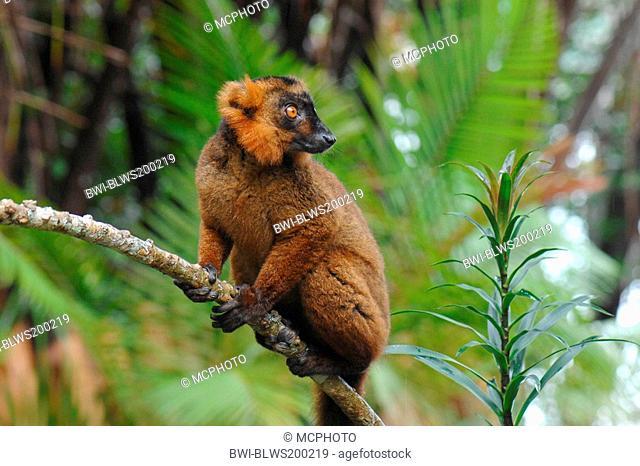black lemur Lemur macaco, Petterus macaco, hybrid between black lemur and crowned lemur, Madagascar