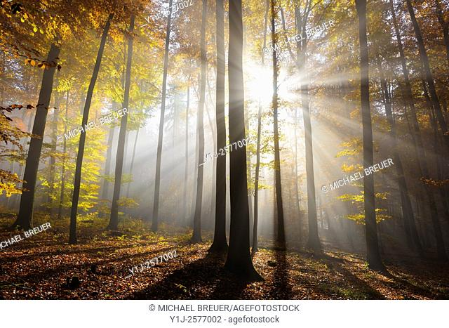 Sunbeams in beech forest in autumn, Fagus sylvatica, Spessart, Bavaria, Germany, Europe