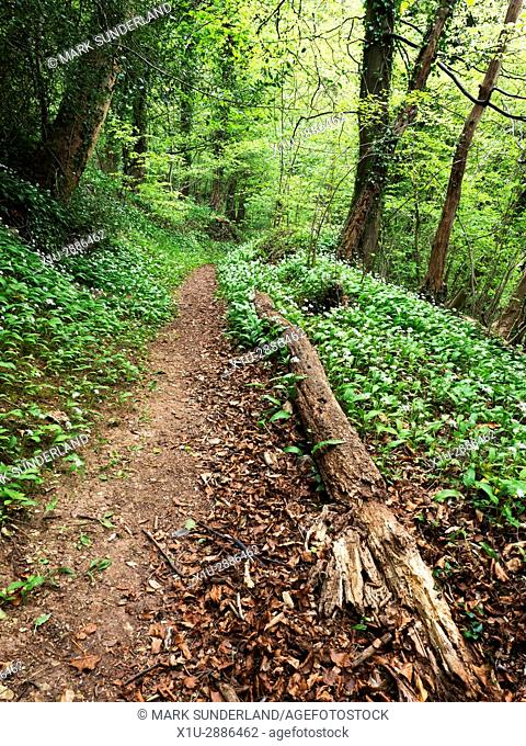Fallen Tree by a Path in Spring Woodland in the Nidd Gorge near Knaresborough North Yorkshire England