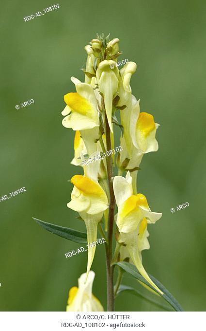 Common Toadflax North Rhine-Westphalia Germany Linaria vulgaris