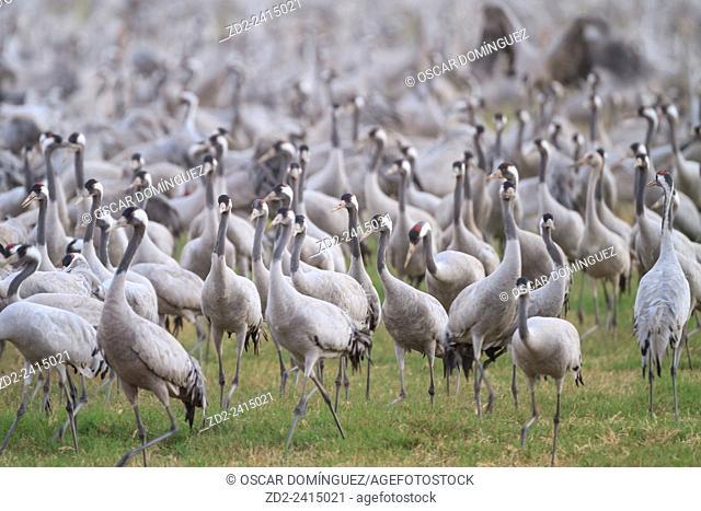 Common Cranes (Grus grus) flock feeding at Agamon Hula. Hula Valley. Israel