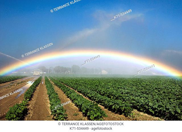 Fields of beans (lentils) under irrigation producing a rainbow near Homestead, Florida, USA