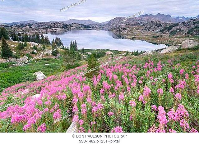 Fireweed flowers Epilobium angustifolium in a field with a lake in the background, Island Lake, Bridger-Teton National Forest, Wind River Range, Wyoming, USA