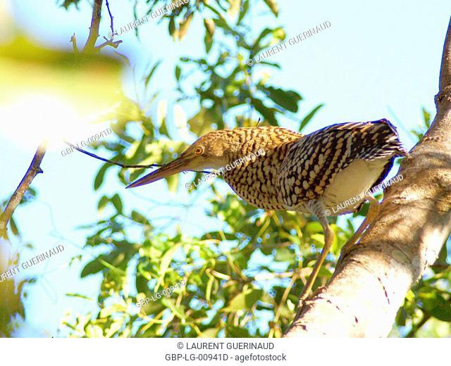 Bird, Pantanal, Mato Grosso do Sul, Brazil