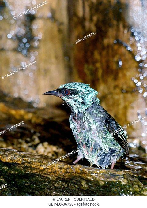 Bird, Saí-azul, saí-bicudo, Ilha do Mel, Encantadas, Paraná, Brazil