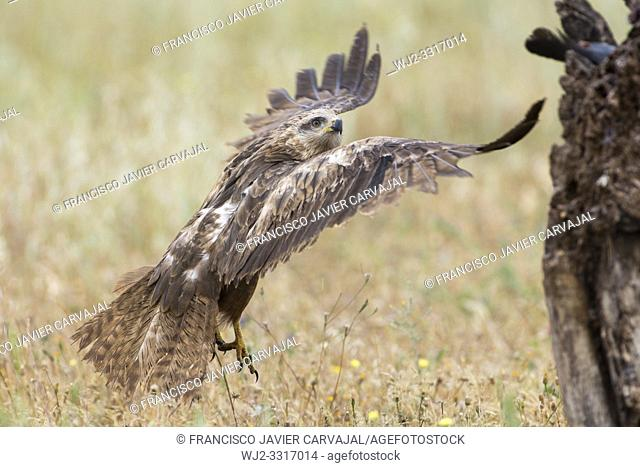Black Kite (Milvus migrans), taking off the flight towards a trunk where its prey awaits, in a pasture in Extremadura, Spain