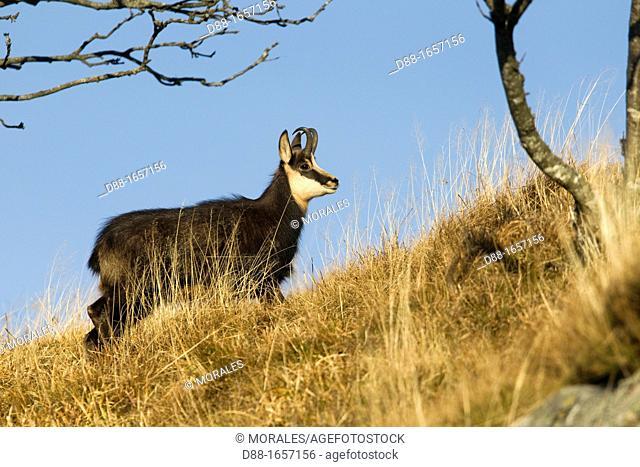 France ,Haut Rhin , Le Honeck , chamois Rupicapra rupicapra