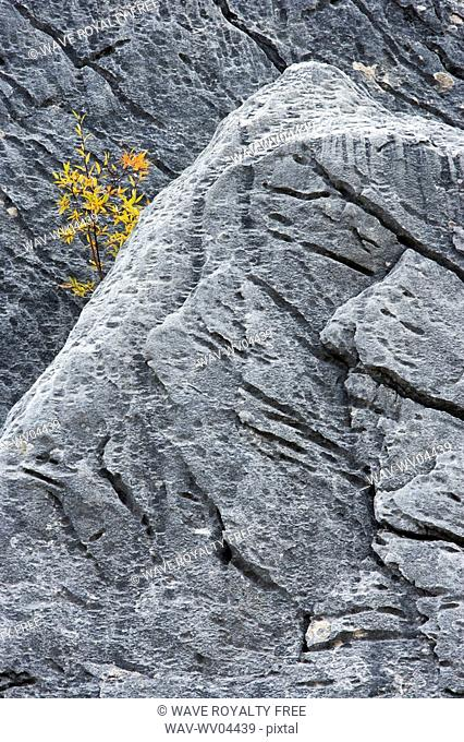 Aspen tree in rocks - Medicine Lake - Jasper National Park, Alberta, Canada
