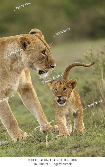 Adult and puppy. Lion. Panthera Leo. Kenia. Africa