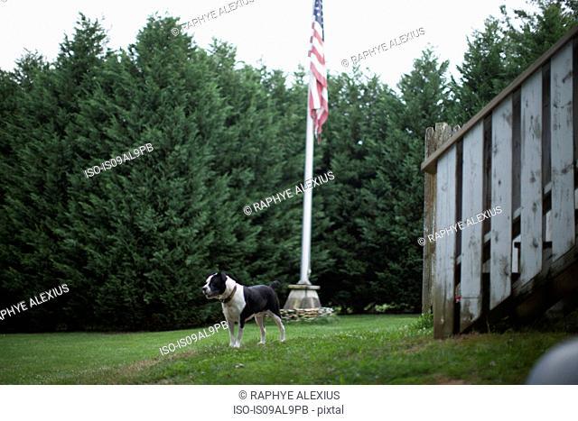 Guard dog and American flag in garden, Canton, North Carolina, USA