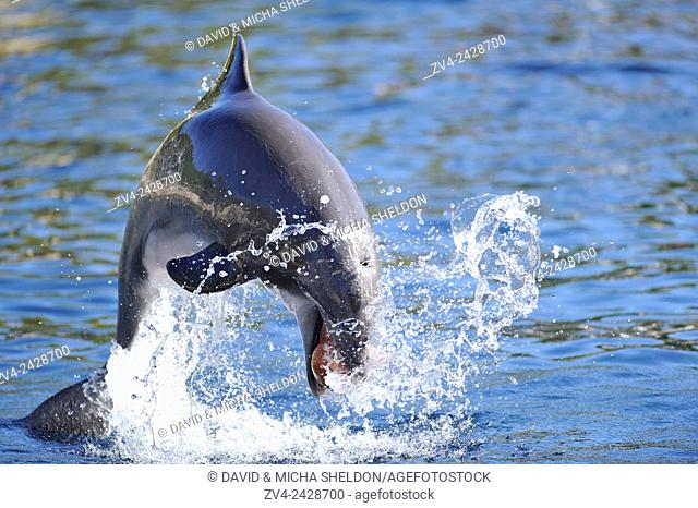 Close-up of a common bottlenose dolphin (Tursiops truncatus) in a zoo in autumn