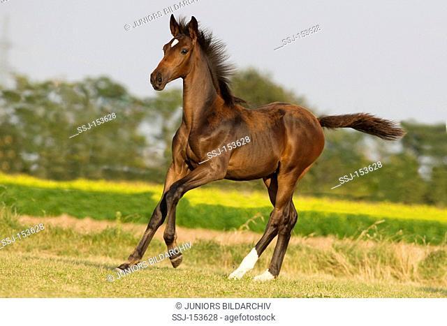 Przedswit horse - foal running on meadow