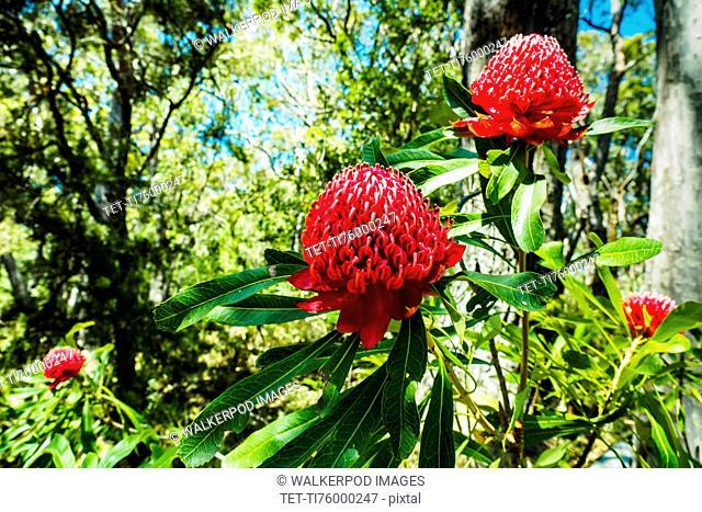 Australia, New South Wales, Katoomba, Telopea speciosissima also known as waratahs