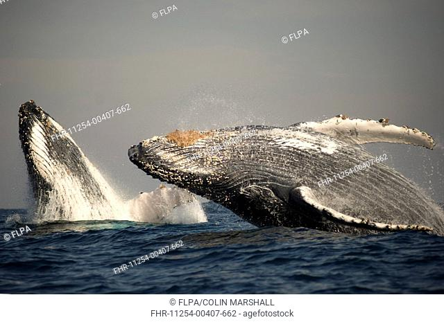 Humpback Whale Megaptera novaeangliae adult pair, breaching at surface of sea, offshore Port St Johns, Wild Coast, Eastern Cape Transkei, South Africa