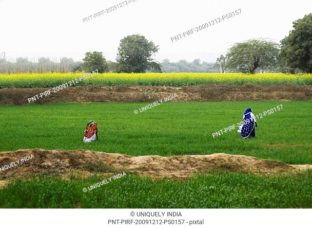 Female farmers working in a field, Sohna, Gurgaon, Haryana, India