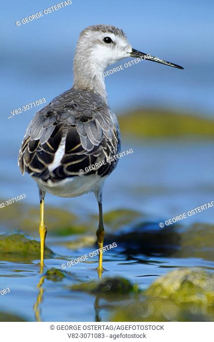 Phalarope at Lake Abert, Lakeview District Bureau of Land Management, Oregon, USA
