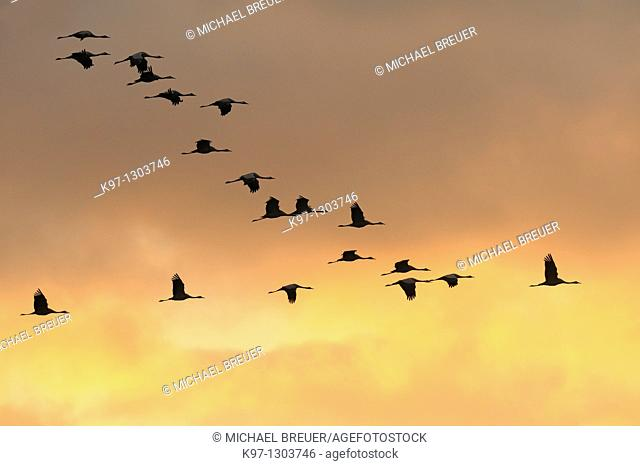 Common cranes (Grus grus) at sunset, Mecklenburg-Western Pomerania, Germany, Europe